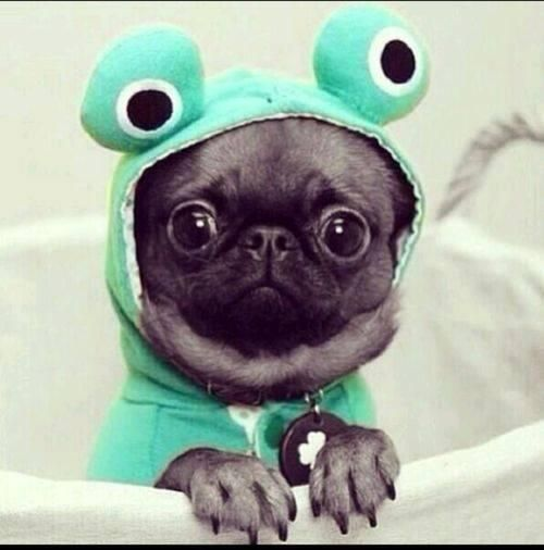 U is for Utterly awesome...How awesome is this Pug frog....U is hard, hopefully this Pug frog makes you smile.