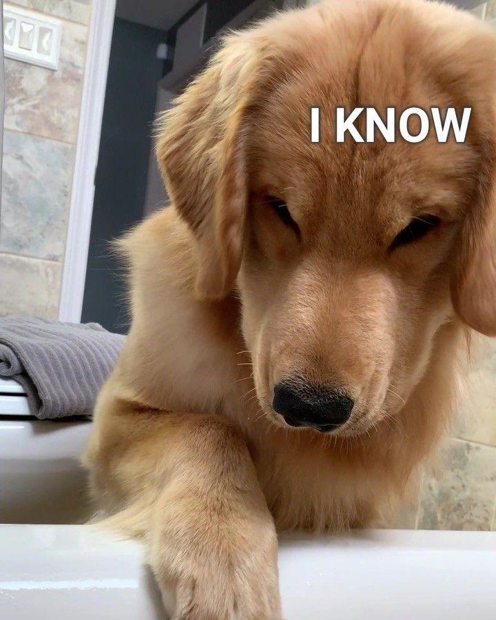 Pin Em Golden Puppies For Cuteness D