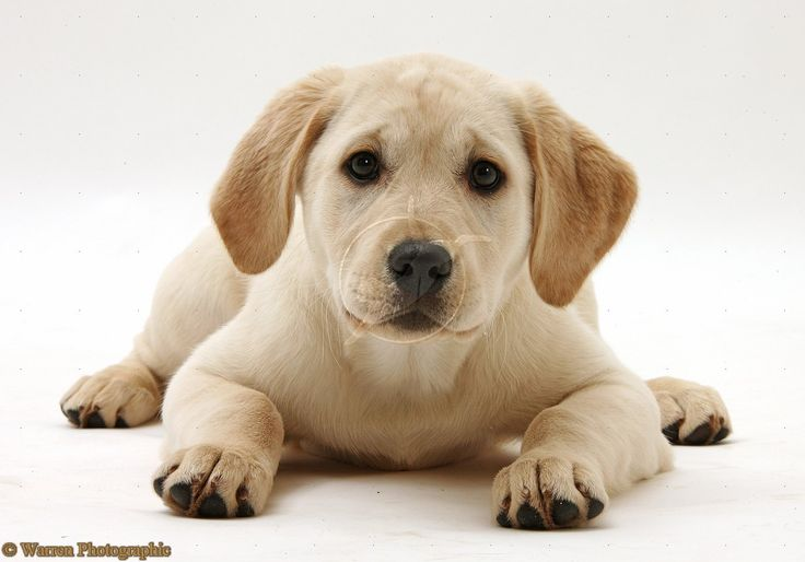 Labrador Retriever puppies and dogs for sale and adoption  is part of the popular collection wallpapers.