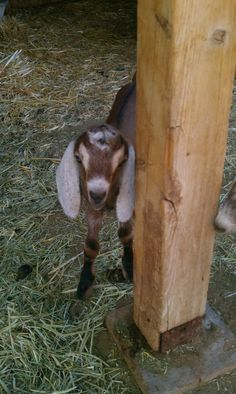 Best herbs for Goats (to plant around perimeter of goat pen)
