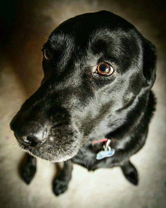 Midnight. Labrador retriever