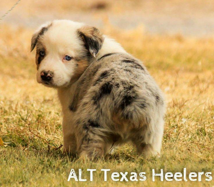 Australian Cattle Dog Puppies Houston Tx