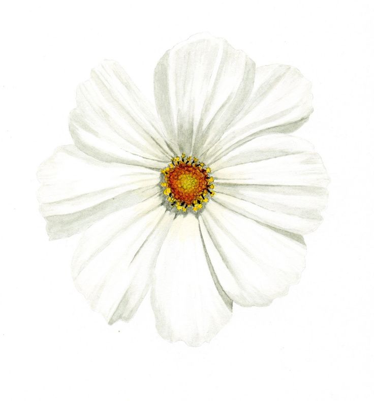 Willy Anderson: Witte Cosmea / White Cosmos
