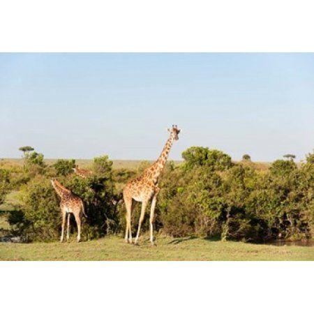 Giraffe Giraffa camelopardalis Maasai Mara Kenya Canvas Art - Sergio Pitamitz DanitaDelimont (35 x 23)