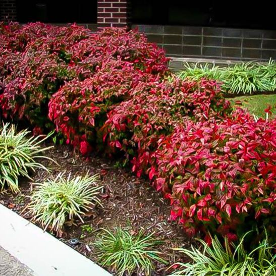 Firepower nandina full shade or full sun evergreen for Landscape plants for full sun
