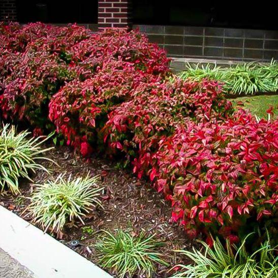 firepower nandina garden shrubs