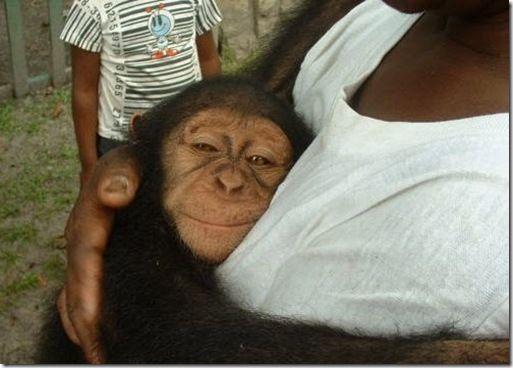 knuffelen met een baby chimpansee (in een luier)