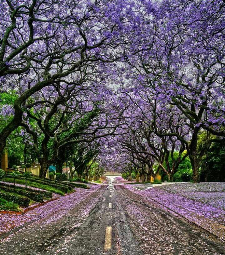 Jacaranda treesin october in Pretoria