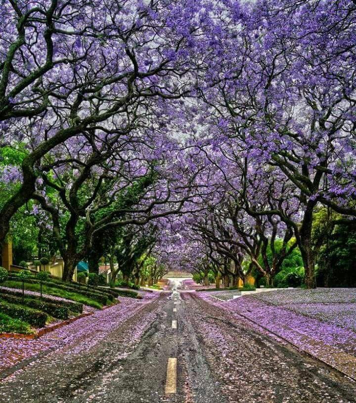 Jacaranda treesin october in Pretoria