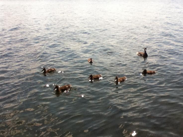 Ducks on lake Nosbonsing