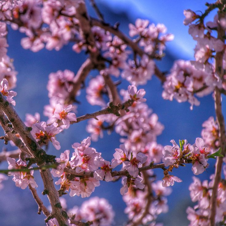 The almond blossom is here! It is the beginning of flowering of the almond trees #granhotelsonnet #Mallorca #luxury #boutiquehotel #travel #beautifuldestinations #almond #blossom #inspiration #instatravel #realstate #ecoluxury #ecolifestyle #luxuryliving #luxuryhotel #hotel #travel #hotels #travelgram #tramuntana #naturelovers #island #ilovemallorca