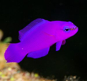 Orchid Dottyback. Is a very RARE saltwater fish, found in the Red Sea. Does well in a 30+ size tank set up as a Reef tank. Very hardy fish, good beginner fish.