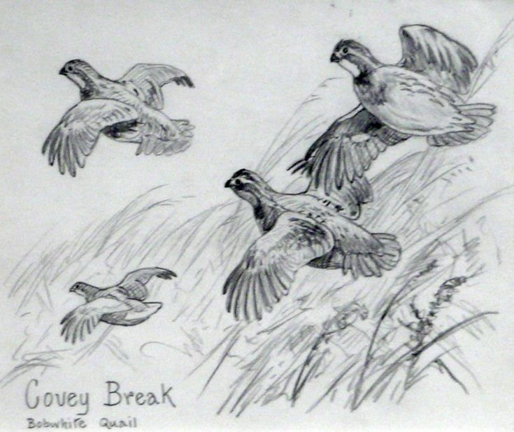 Line Drawing Quail : Quail flying drawing google search game birds