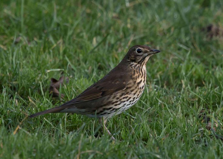 #bird #grassland #song thrush #speckled