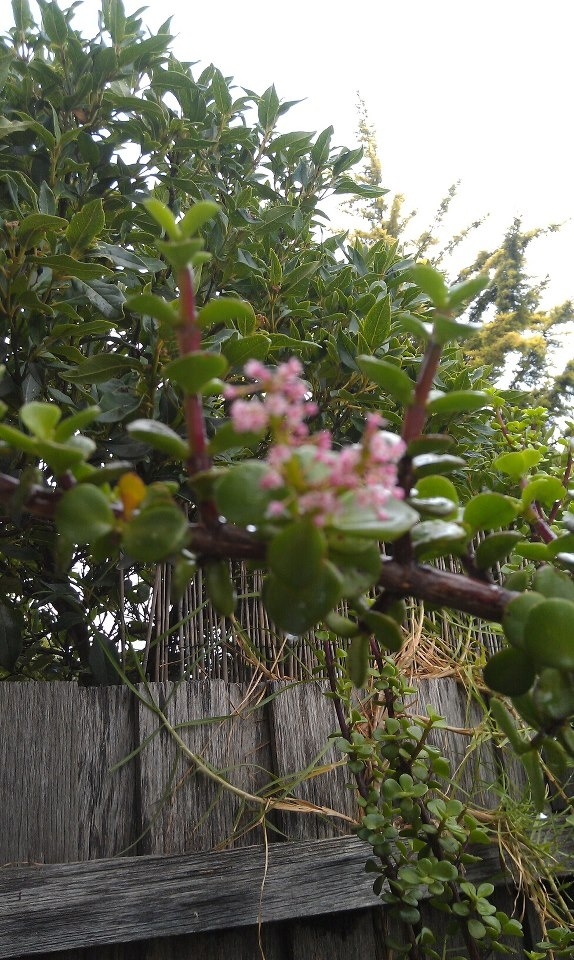 Flowers on my Jade plant