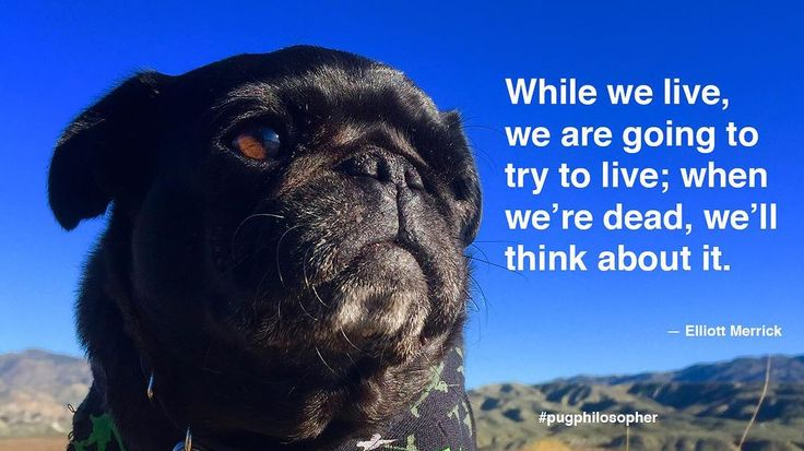 """Today's dose of pug wisdom comes to us by way of Elliott Merrick: """"While we live we are going to try to live; when were dead well think about it."""" #pugphilosopher #elliottmerrick #nebbiequotesaquote #nursenebbie #nebulathepug #nebbie #nebbiethepug #nebulathepotbellypug #potbellypug #seniorpugsofinstagram #seniorpugsrule #rescuepugsofinstagram  #rescuepug #rescuepugsrock #adoptdontshop #spcaLA #blackpugoftheday #snugwithpug #pugsofficial #pugworld #zerozeropug #speakpug #pugbasement #instapug…"""