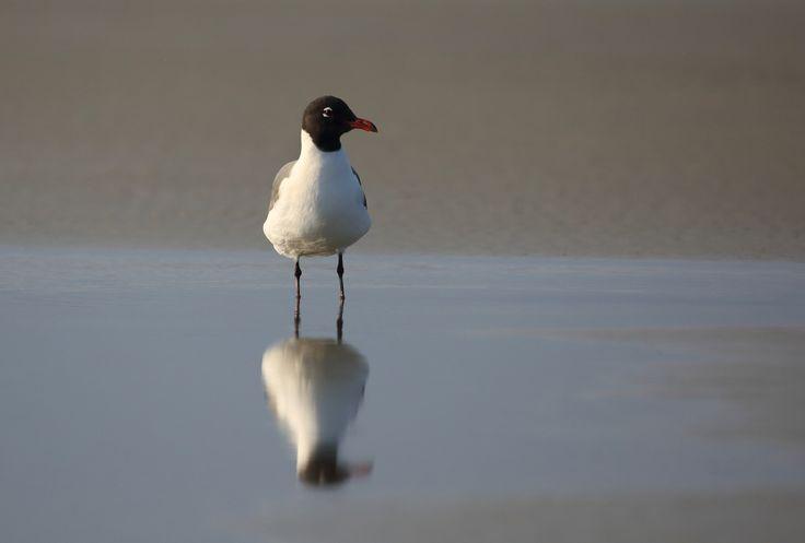 Laughing Gull - Tybee Island Georgia