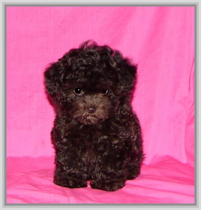 9 Images Of Black Maltipoo Puppies - 9 Dogs & Puppies Pet Pictures ...