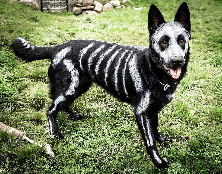 Des animaux déguisés en squelettes pour Halloween   animaux deguises en squelettes pour halloween nikie le chien 1