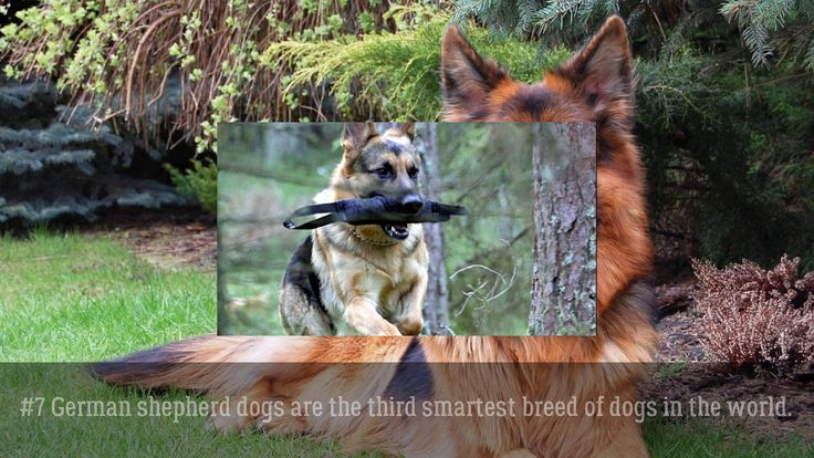11 Astonishing Facts About German Shepherd Dogs