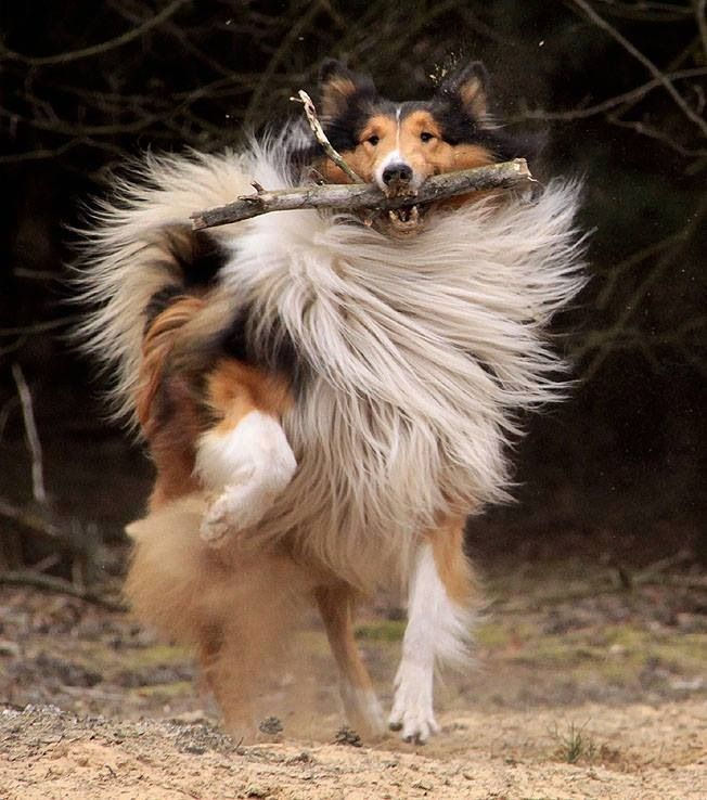 Playful Rough Collie