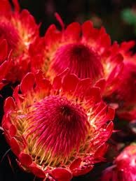 Protea flower.  Exotic and beautiful.  These are amazing in dry arrangements