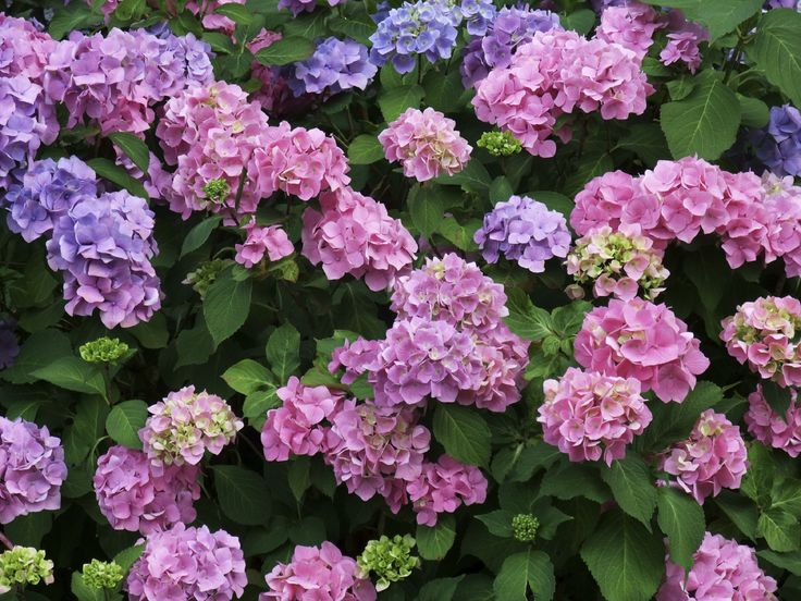 How to grow and care for hydrangeas hydrangea gardens and plants - Caring hydrangea garden ...