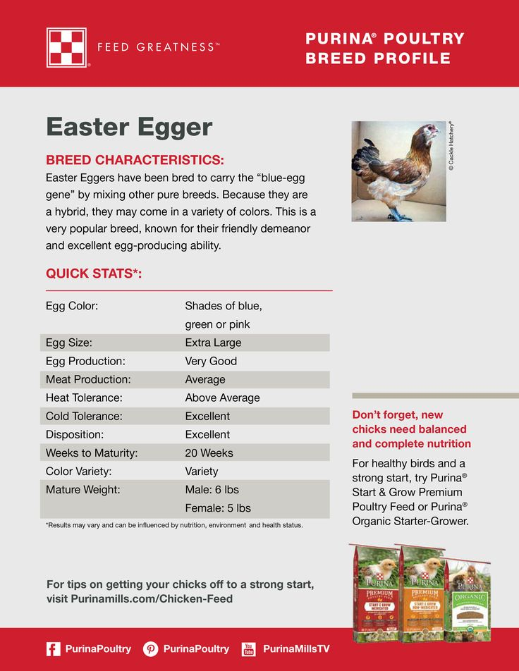"Featured chicken breed: Easter Egger  Blue, green and pink eggs, oh my! Easter Egger chickens are well known for laying colored eggs. They have been breed to carry the ""blue-egg gene"", but since they are a hybrid the eggs may come in a variety of colors. Collecting your first egg from an Easter Egger is sure to be a fun surprise!"