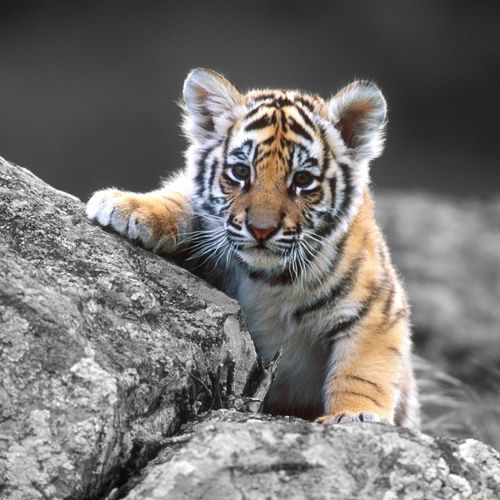 ~~ baby tiger ~~