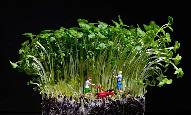 But it's not all fun and games - for these little people, tending to a five-square-metre garden is a mammoth task.... Image: Artist David Gilliver's Little People (© BARCROFT MEDIA/David Gilliver)