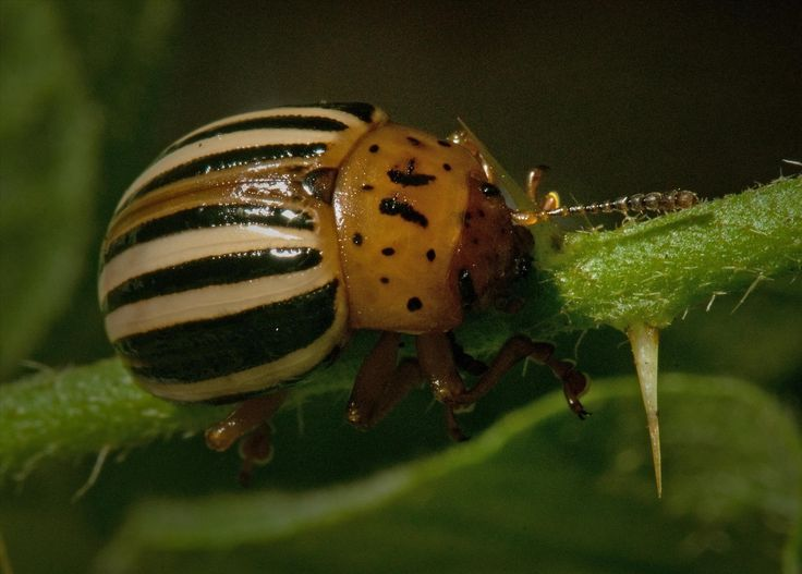 The 25+ Best Ideas About Potato Bugs On Pinterest | Bug Activities