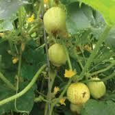 Cucumber Seeds Lemon (Heirloom)