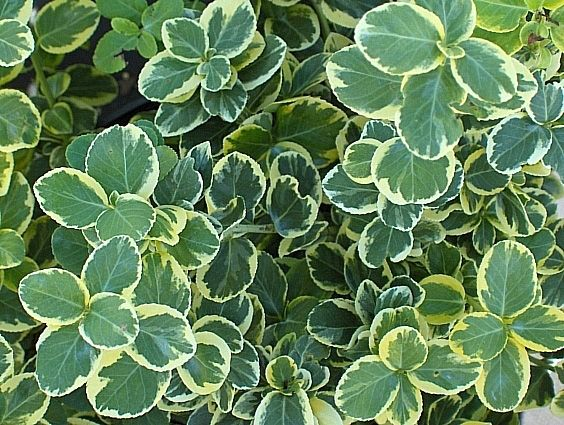 Learn More About Euonymus Fortunei Canadale Gold Wintercreeper! Read Up On  This Plant Or Stop Into Sunnyside Gardens In Minneapolis To Talk To Our  Experts!