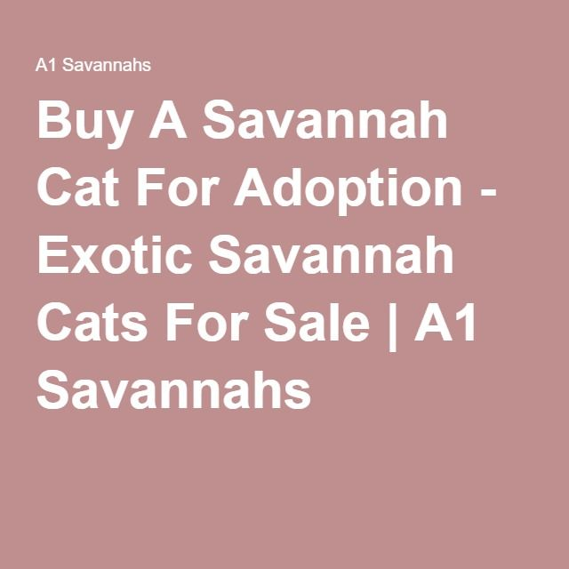 Buy A Savannah Cat For Adoption - Exotic Savannah Cats For Sale | A1 Savannahs