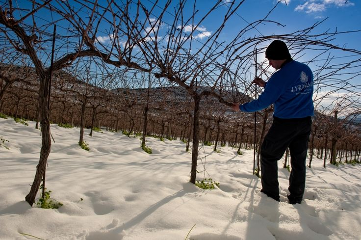 Pruning in the Snow... Website http://www.lyrarakis.gr/ Facebook Page https://www.facebook.com/LyrarakisWines Facebook Group https://www.facebook.com/groups/45448215812/ Facebook Profile https://www.facebook.com/lyrarakis.wines.1 Twitter https://twitter.com/lyrarakis LinkedIn https://www.linkedin.com/company/lyrarakis-wines TripAdvisor http://www.tripadvisor.com/Attraction_Review-g189417-d2632334-Reviews-Lyrarakis_Winery-Heraklion_Crete.html