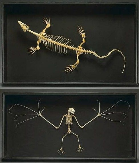 animal Skeletons - love that bat