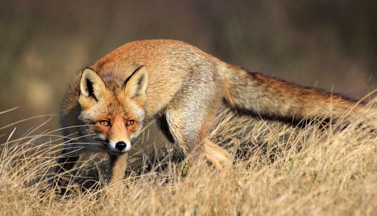 De sluwe vos