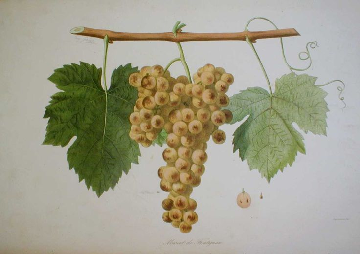 Muscat de frontignan from 'Ampélographie française', by Victor Rendu. Paris, 1857. Ampelographies describe and often illustrate grape varieties. The hand-coloured lithographs of Eugene Grobon make this book possibly the most prized of the great ampelographies of the nineteenth and early twentieth centuries.
