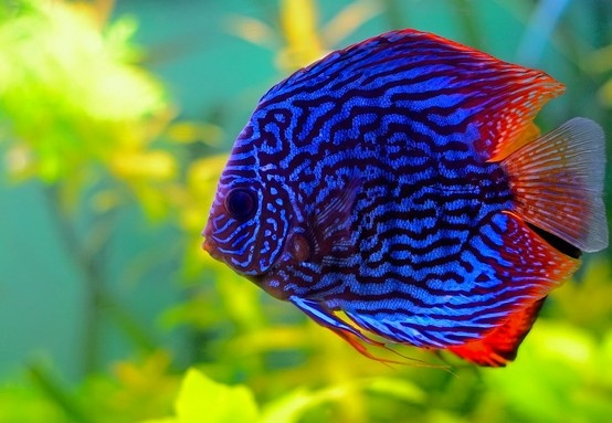 Discus symphysodon aequifasciatus diary of a mermaid for Discus fish types