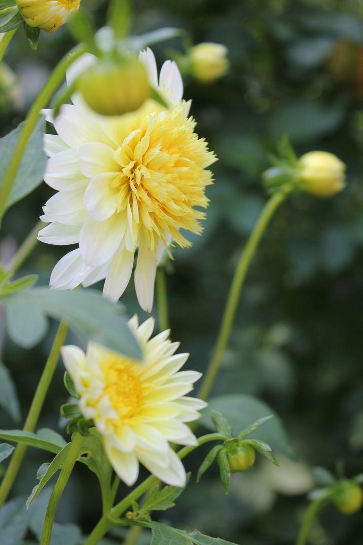 #Dahlia 'Freya's Paso Doblé' Anemonenblütige Dahlie Dalia a fiore di anemone Anemone flowered dahlia #flower #white
