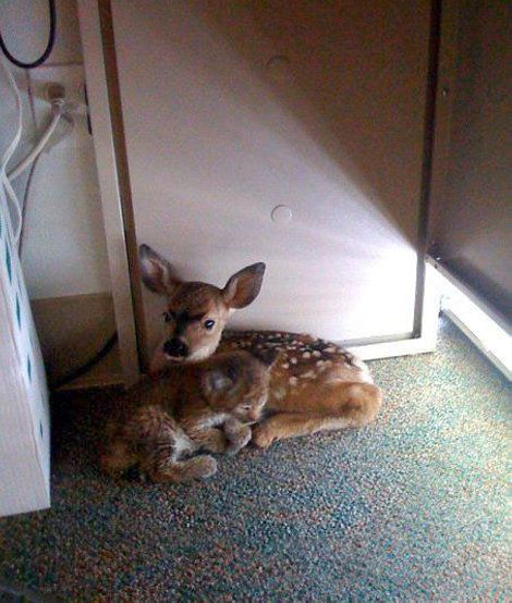 Bobcat Kitten And Baby Fawn Take Shelter Together After A Fire In California: Sweet, Friends, Fawns, Forests Fire, Shelters, Offices Together, Desks, Kittens, Animal