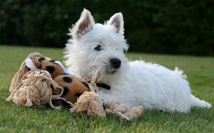 I West Highland White Terrier sono cagnolini scozzesi,noti anche come Westie, dal caratteristico colore bianco e un bel paio di baffi! Conosciamoli bene...