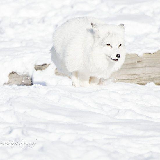 Running Arctic Fox