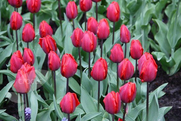 Tulipa Coleur Cardinal. April. 30cm