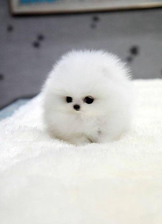 Cotton ball puppy!
