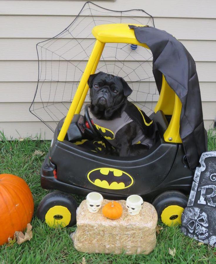 Vader the Bat-Pug - Halloween 2016 #PetplanProtected