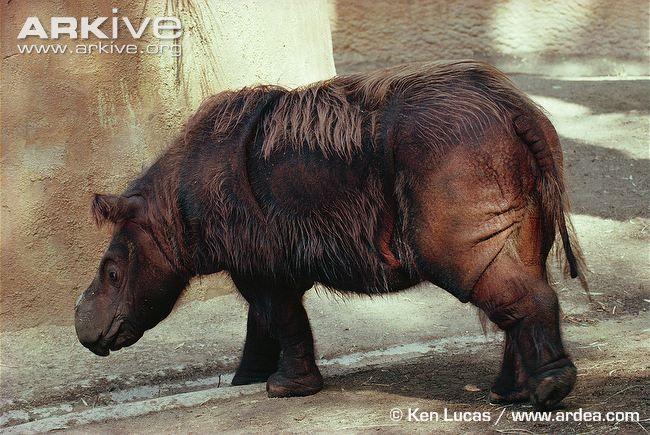 Sumatran Rhinoceros | Sumatran rhinoceros photo - Dicerorhinus sumatrensis - G1137 | ARKive