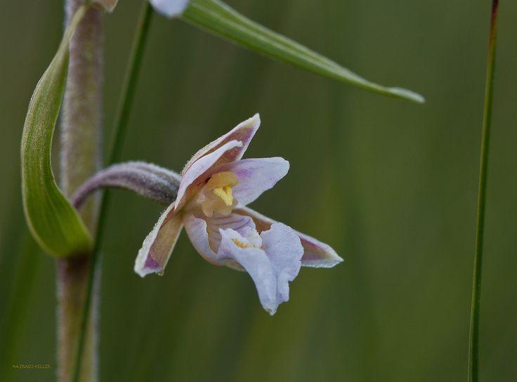 Epipactis palustris | Flickr - Photo Sharing!