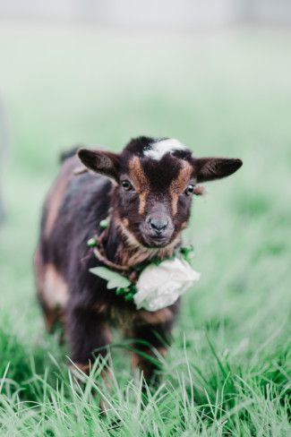 Mini Goats, Cute Goats, Baby Goats, Baby Pygmy Goats, Funny Goats, Baby Farm Animals, Animals And Pets, Wild Animals, Goat Picture