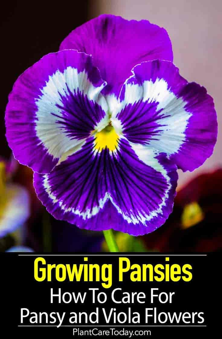 Popular Pansies Are Wonderful Easy To Grow Flowers Providing Early Color In Cold Climates And Winter Flower In Milder Cli Pansies Flowers Viola Flower Pansies